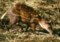 Sri Lankan Spotted Chevrotain